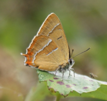 Brown Hairstreak Copyright: Robert Smith