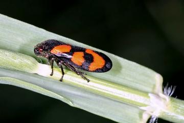 Cercopis vulnerata (16 May 2011) Copyright: Leslie Butler