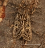 Feathered Gothic  Tholera decimalis Copyright: Graham Ekins