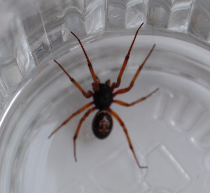 Steatoda nobilis - false widow spider Copyright: Keith Richardson