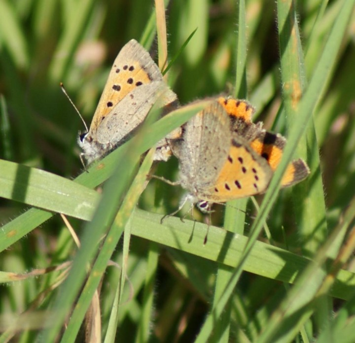 Small Copper (in cop) Copyright: Robert Smith
