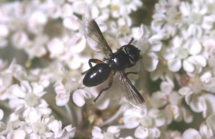 Catharosia pygmaea Copyright: Peter Harvey