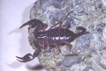 Euscorpius flavicaudis Copyright: Peter Harvey