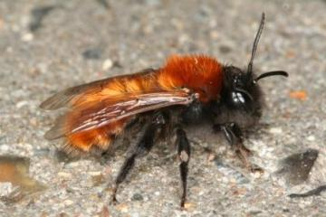 Andrena fulva female Copyright: Peter Harvey