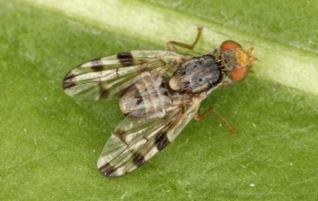 Terellia ruficauda Copyright: Peter Harvey det Del Smith