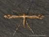Amblyptilia acanthadactyla  4 Copyright: Graham Ekins