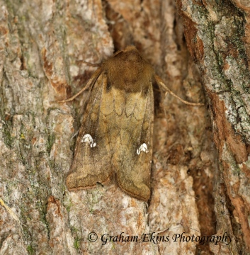 Saltern Ear   Amphipoea fucosa Copyright: Graham Ekins