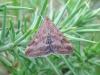 Pyrausta despicata 2 Copyright: Stephen Rolls