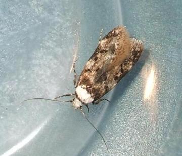 White-shouldered House Moth (Endrosis sarcitrella) Copyright: Ben Sale