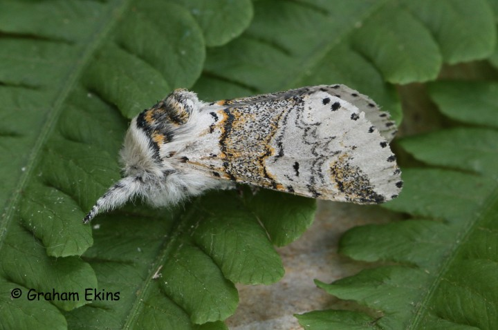Sallow Kitten 1 Copyright: Graham Ekins