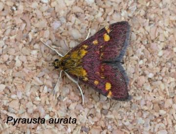 Pyrausta aurata 3 Copyright: Graham Ekins