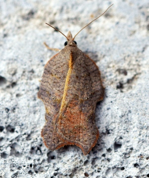 Acleris emargana Copyright: Ben Sale