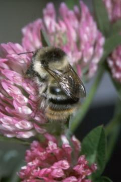 Bombus sylvarum queen on red clover