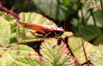Roesel's Bush Cricket 2 Copyright: Graham Smith