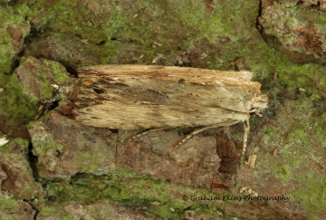 Pale Pinion    Lithophane socia Copyright: Graham Ekins