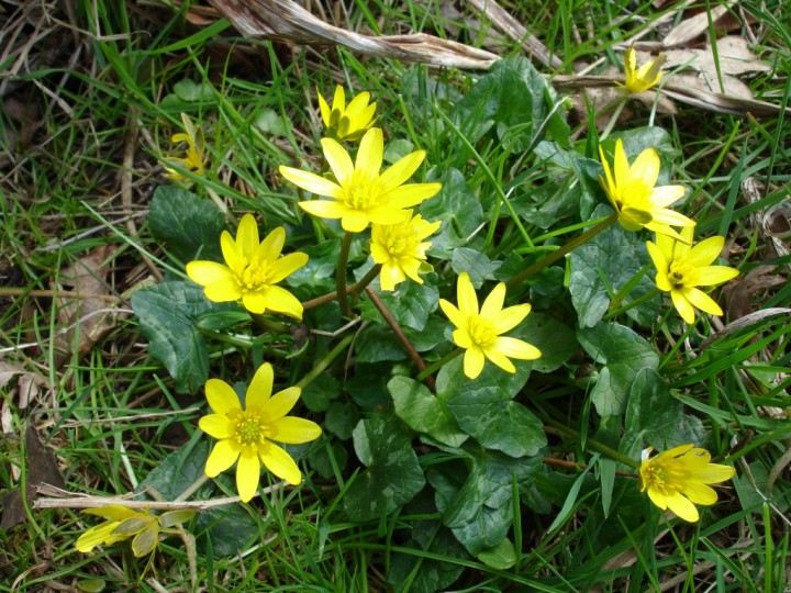 Lesser Celandine Copyright: Graham Smith
