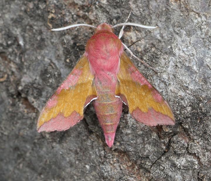 Small Elephant Hawk-moth Deilephila porcellus Copyright: Graham Ekins