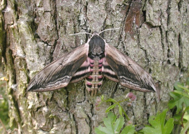 Privet Hawk Moth Copyright: Malcolm Riuddler