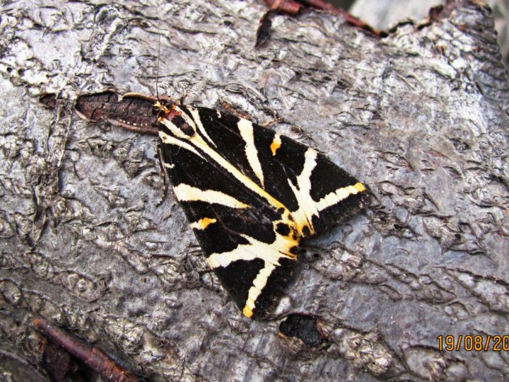 Jersey Tiger August 19th 2012 Copyright: Graham Smith