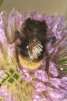 Bombus ruderarius Copyright: Peter Harvey