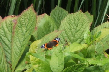 Red Admiral Copyright: Peter Pearson