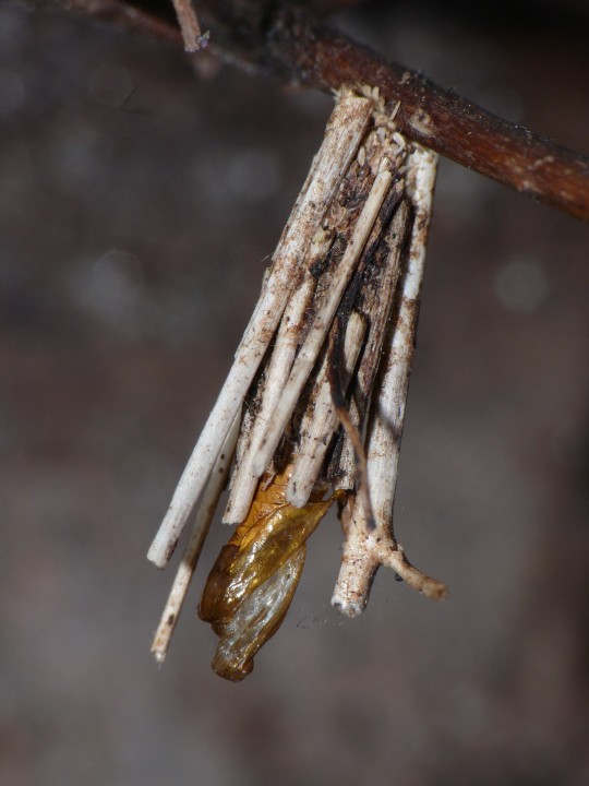 Psyche caster larval case after moth emergence Copyright: Peter Furze