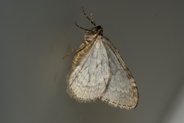 November Moth agg. Copyright: Ben Sale