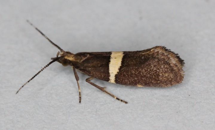Eidophasia messingiella Copyright: Peter Furze