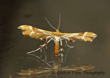 Cnaemidophorus rhododactyla   (Rose Plume) Copyright: Graham Ekins