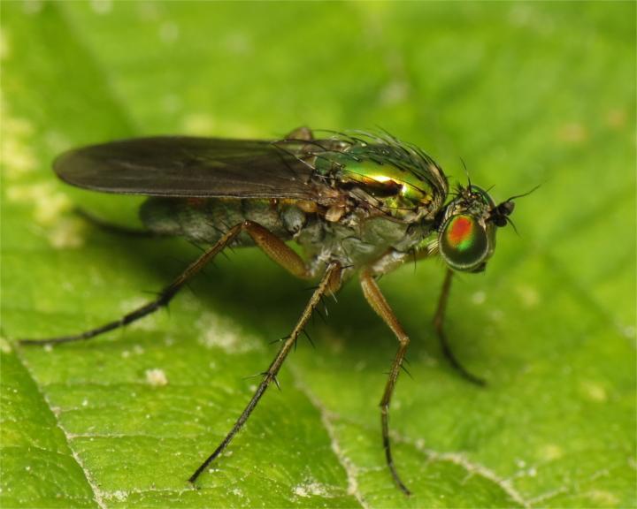 Poecilobothrus nobilitatus female 20150619-1841 Copyright: Phil Collins