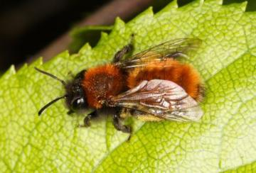 Andrena fulva Copyright: Peter Harvey