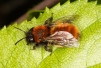 Andrena fulva Copyright: Peter Harvey
