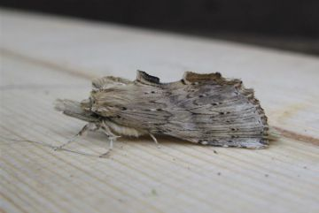 Pale Prominent 2 Copyright: Stephen Rolls