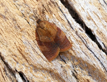 Cacoecimorpha pronubana (Male) Copyright: Ben Sale