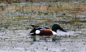 Shoveler Copyright: Graham Smith