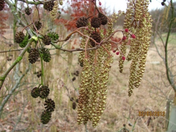 Alder Catkins Copyright: Graham Smith