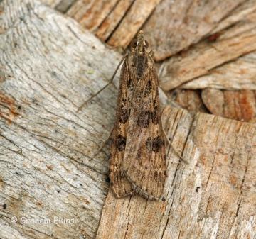 Nomophila noctuella 3 Copyright: Graham Ekins