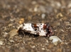 Cochylis hybridella 3 Copyright: Ben Sale