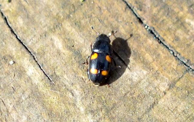 Gilschrochilus hortensis Copyright: Peter Pearson