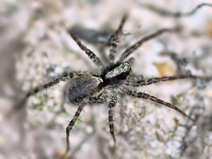 Pardosa  - female (21 Aug 2010) Copyright: Leslie Butler