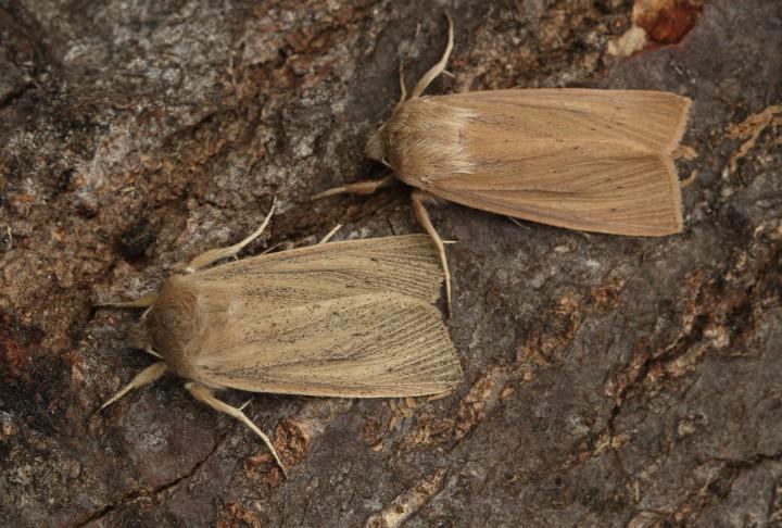 Large Wainscot  Rhizedra lutosa Copyright: Graham Ekins