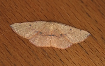Blair's Mocha  Cyclophora puppillaria 3 Copyright: Graham Ekins