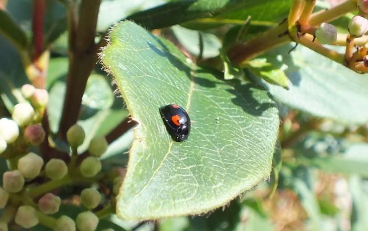 Exochomus quadripustulatus Copyright: Peter Pearson