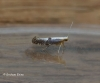 Argyresthia spinosella 3 Copyright: Graham Ekins