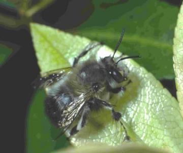 Anthophora plumipes male Copyright: Peter Harvey