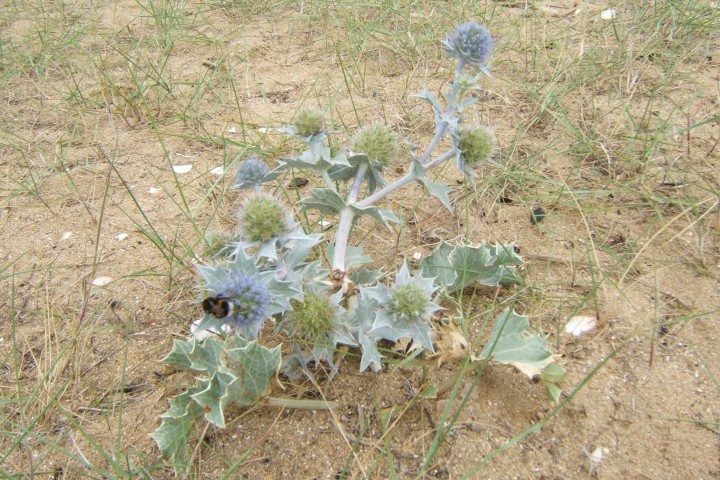 Sea Holly Copyright: Peter Pearson