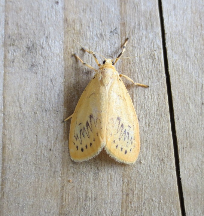 Rosy Footman 1 Copyright: Stephen Rolls