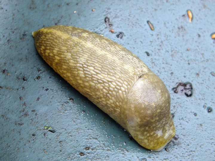 Yellow Slug Copyright: Peter Pearson