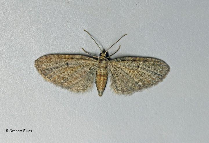 Eupithecia tenuiata  Slender Pug 1 Copyright: Graham Ekins