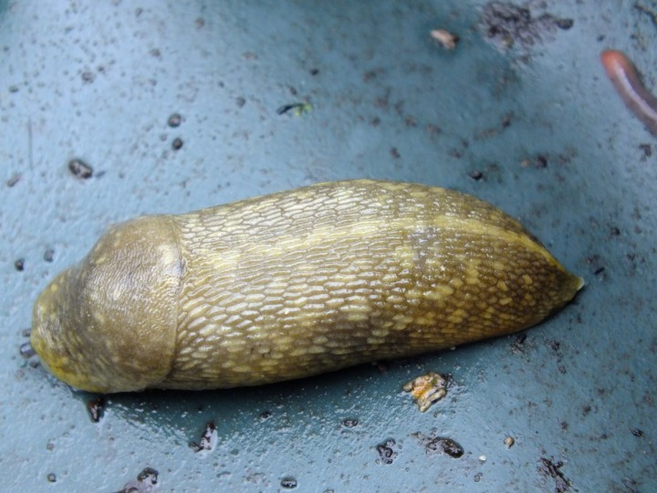 Yellow Slug 2 Copyright: Peter Pearson